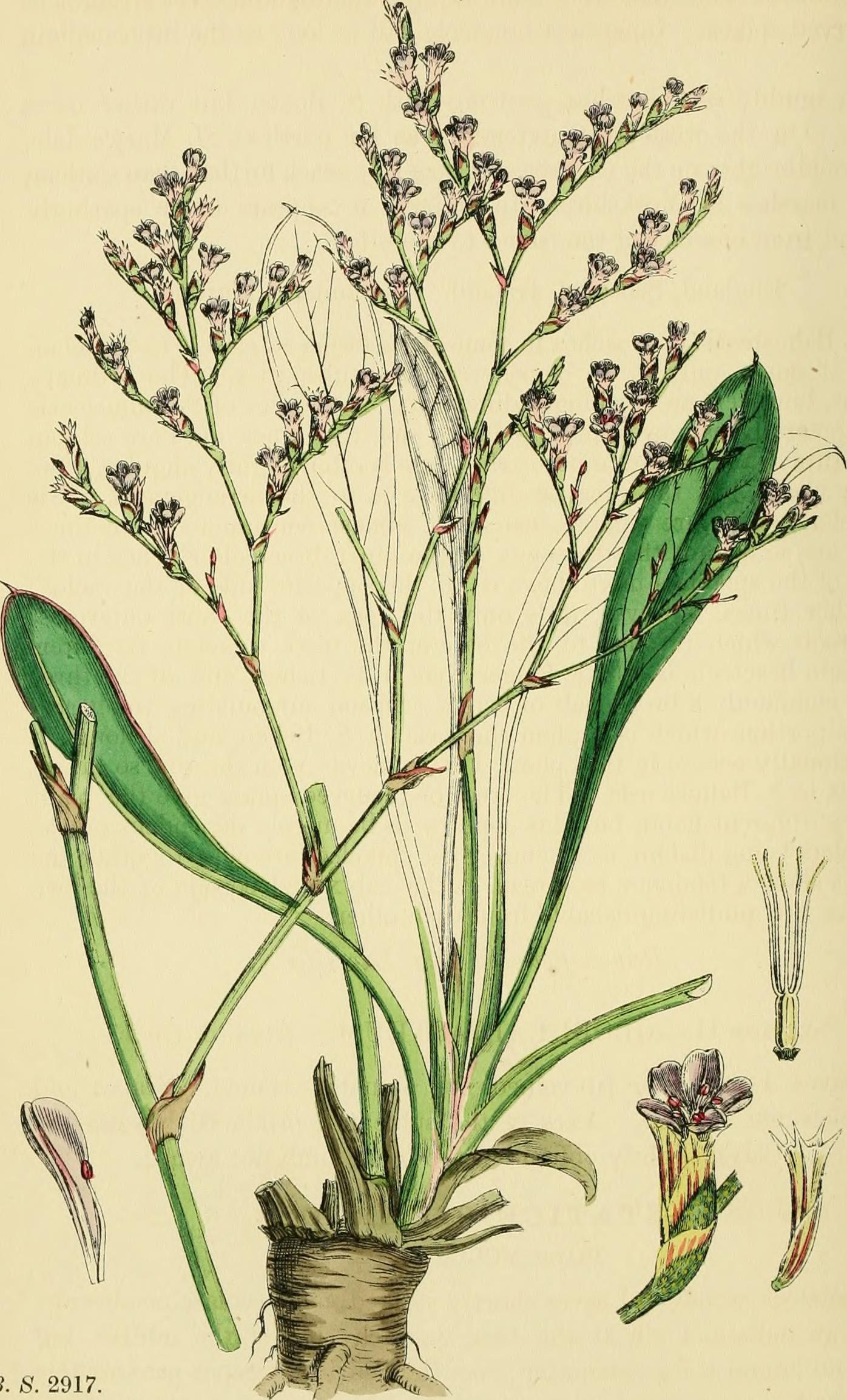 Lankester English Botany