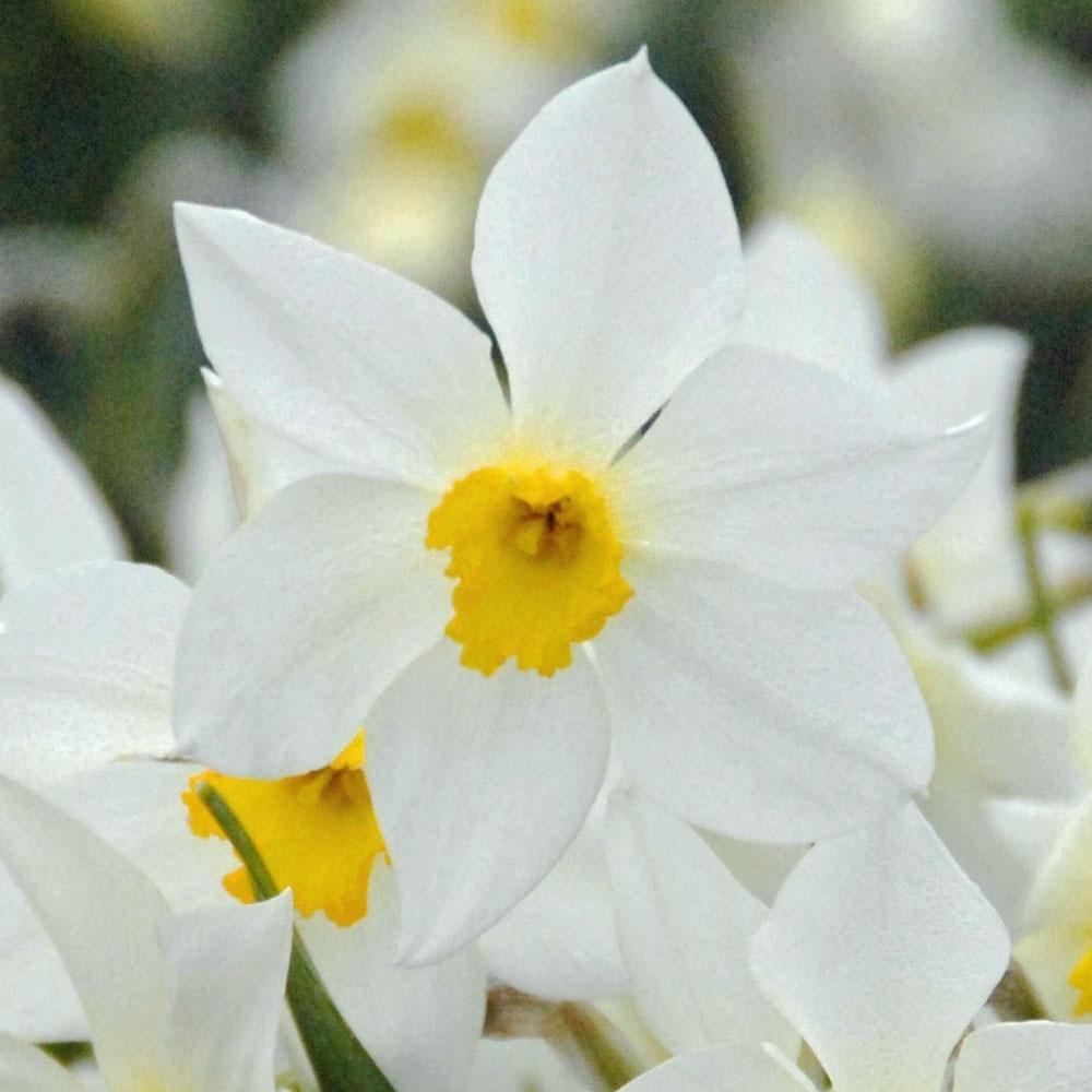 White Lady Daffodil