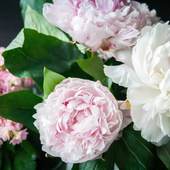 The Herbaceous Peony is the Very Epitome of June
