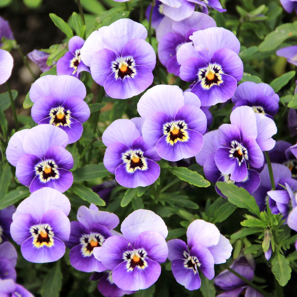 The Violets Will Come, in Their Own Time