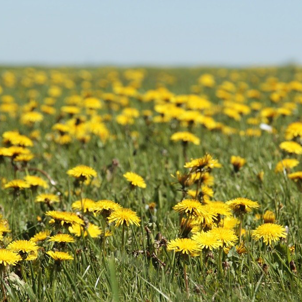 You Fight Dandelions All Weekend
