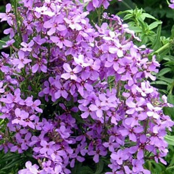 The Tuberose (Night Violet or Dame's Violet)