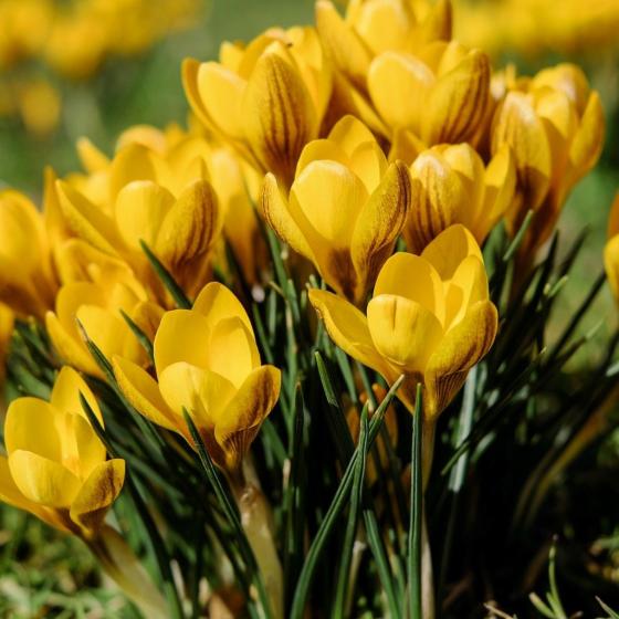 Welcome! Wild Harbinger of Spring