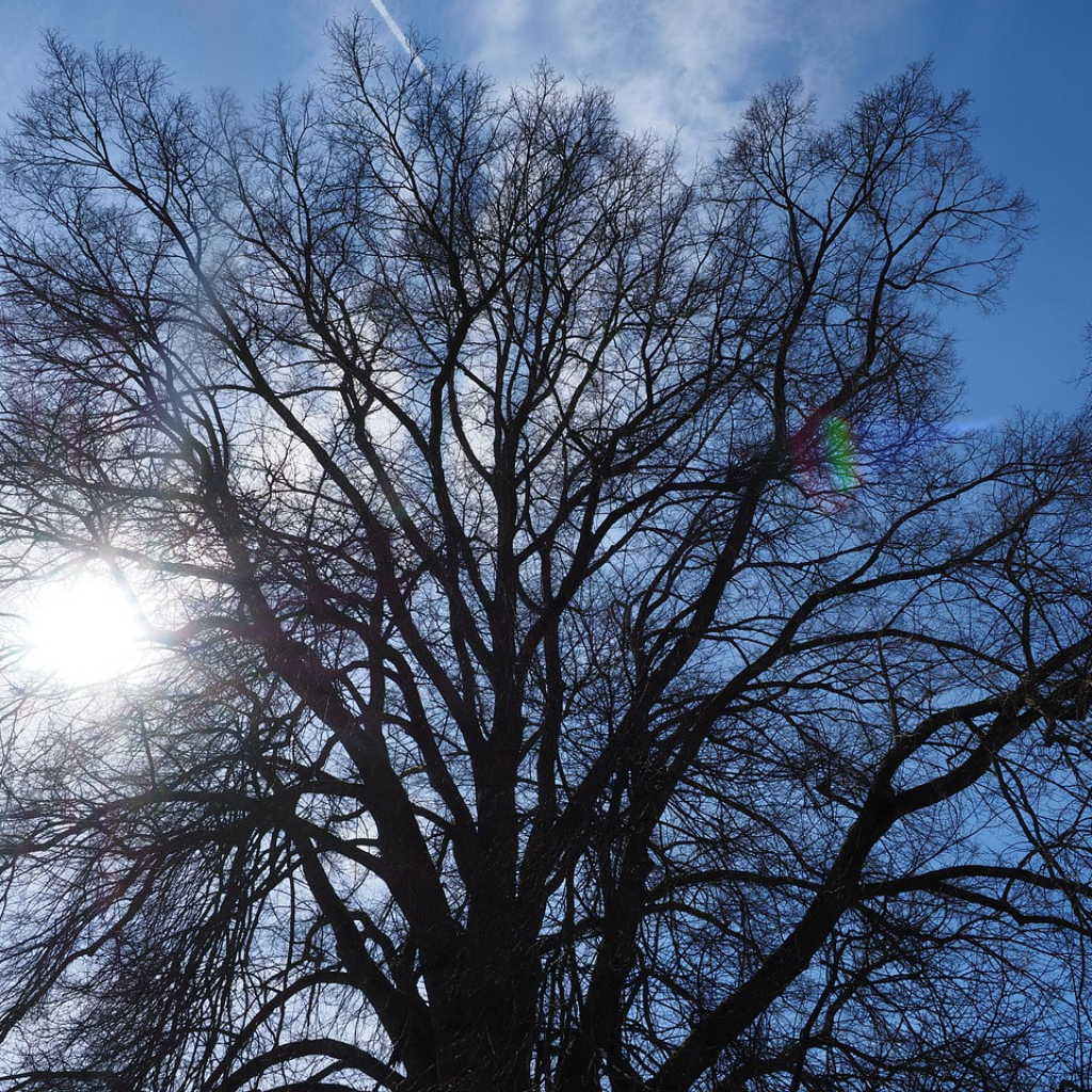 Tall Old Elm Trees at the Bottom of the Garden