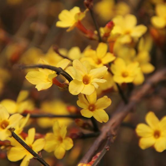 The Yellow Jessamine