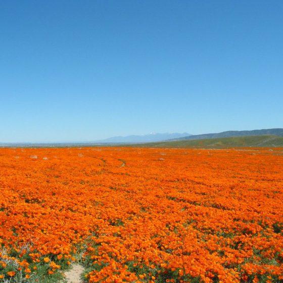 California Poppy Day