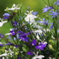 Light Blue Lobelia