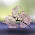 Veined petals