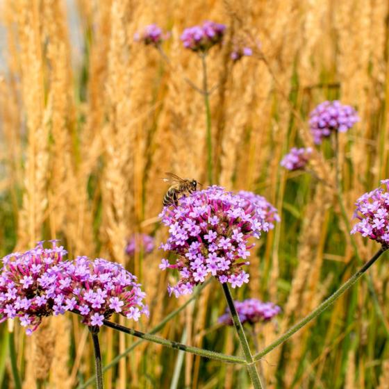September Garden with Pollinator