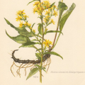 Goldenrod Illustration