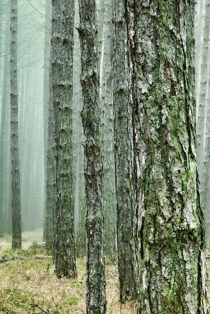 Pine (Pinus) Forest