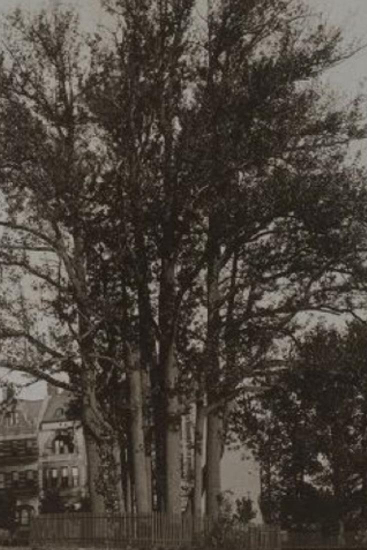 Hamilton's Sweetgum Trees