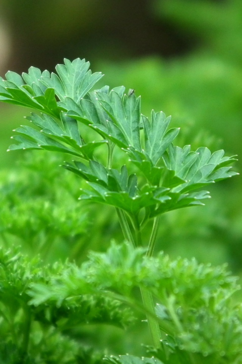 Parsley 8