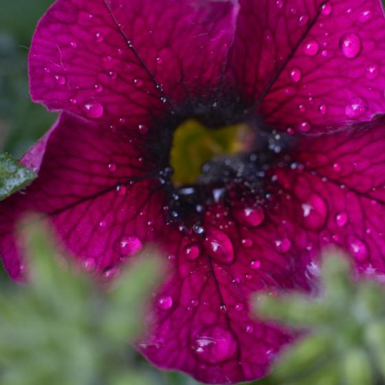 Rain drops on petals