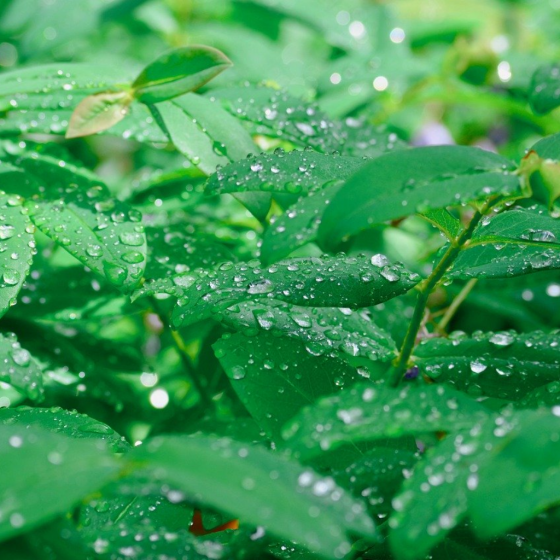 St. Swithin's Day Rain