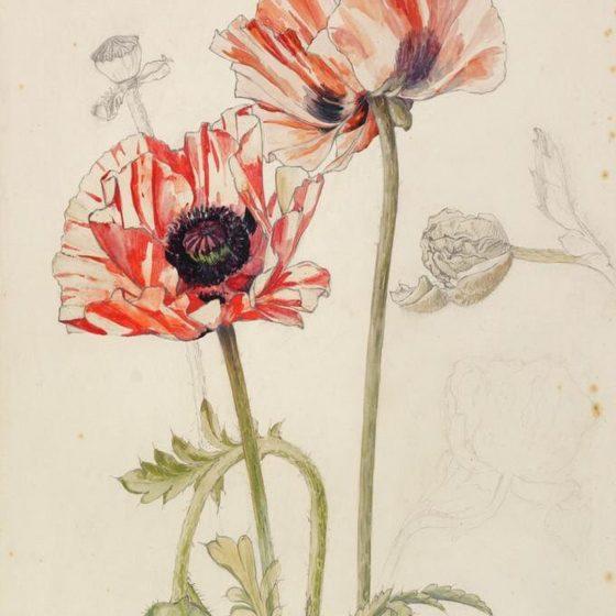 Laurence Perugini Poppy (Papaveraceae)