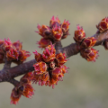 In Spring When Maple Buds Are Red