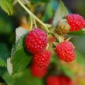 Dew-Wet Red Berries