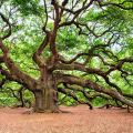 If the Oak is King of Trees