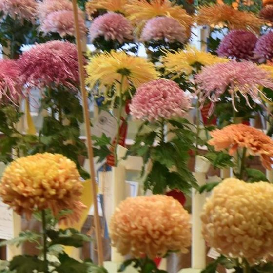 The 1883 Philadelphia Chrysanthemum Show