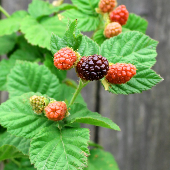 The Legend of the Loganberry