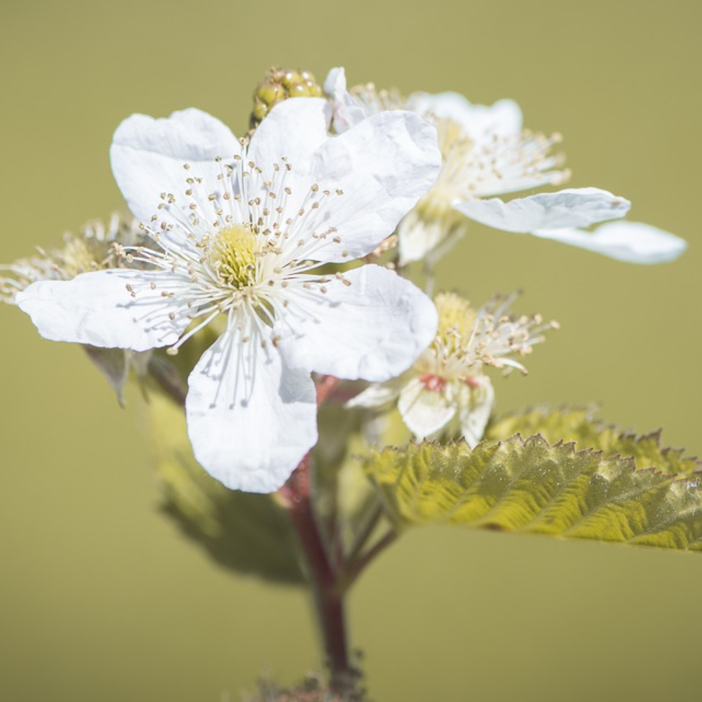 To the Bramble Flower