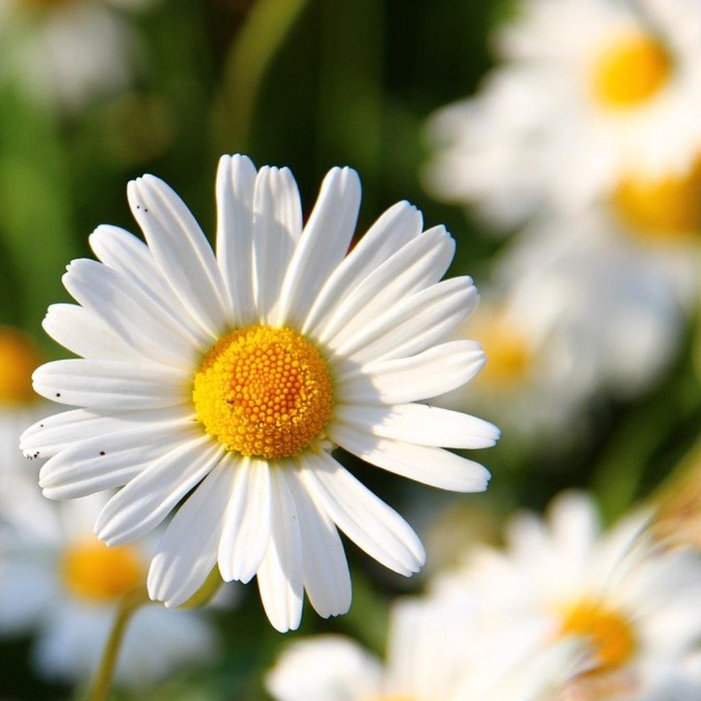 The Common Daisy (Bellis perennis)