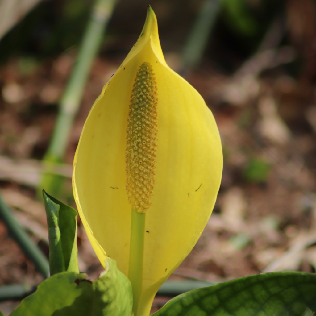 The Skunk Cabbage