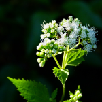 Milk Sickness from White Snakeroot