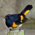 The Redstart