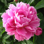 A Small, Sad, Neglected-Looking Pink or Peony