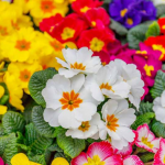 Now That's Something – Discovering New Primroses