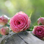 But Friendship is the Breathing Rose