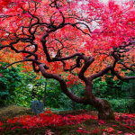 The Scarlet of Maples