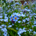 Forget-Me-Not Fairy